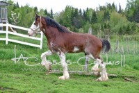 Covered Bridge Clydesdales